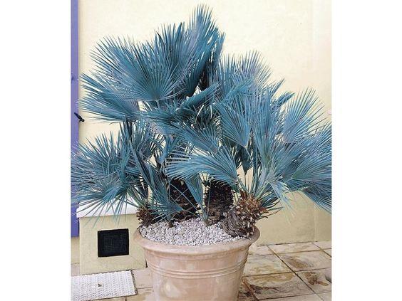 Winterharte Blaue Zwerg-Palmen, 1 Pflanze, Chamaerops humilis Cerifera 1