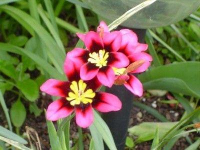 planta convolvulacea de tuberculosis comestibles christmas