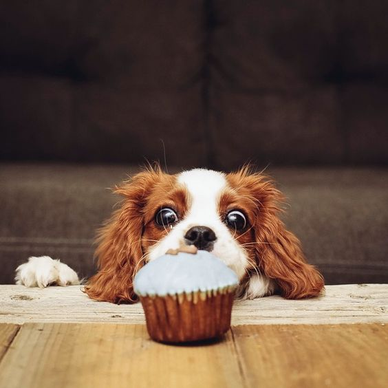Cavalier Indy: must have. cupcake. happy 3 months to me! ♥ THIS IS TOTALLY ELVIS' brother or sister lol