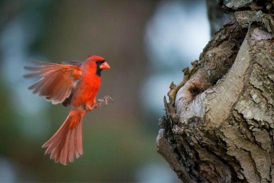 Cardinal Flying Into Window   www.pixshark.com - Images ... Cardinal Flying Into Window