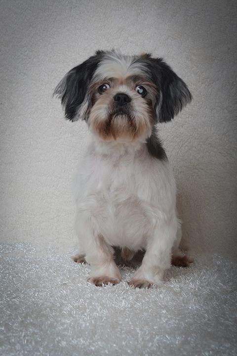 Shih Tzu Dog For Adoption In Weston Fl Adn 28642 On Puppyfinder