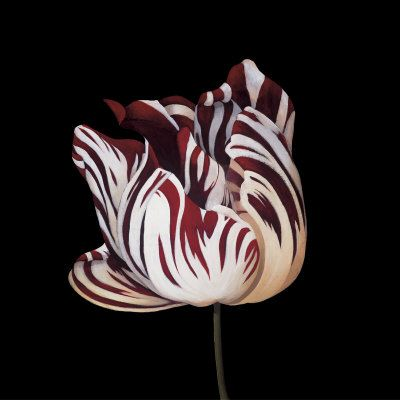 parrot tulip…..I just must run down some parrot tulips for next year. I can't find them here.: