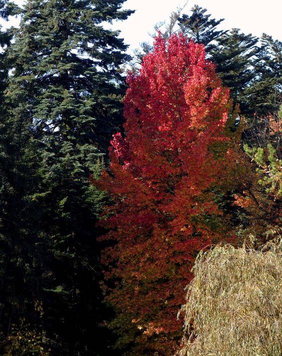 Der Amerikanische Amberbaum (Liquidambar styraciflua) entwickelt eine der schönsten Herbstfärbungen.