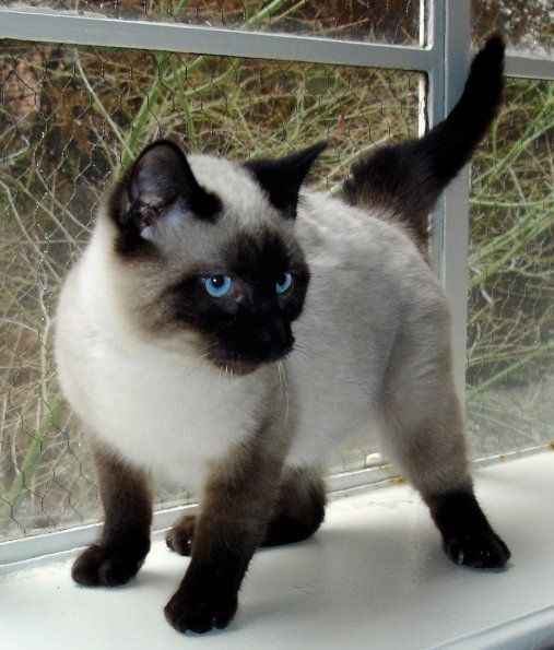Siamese Cat def want one or two!