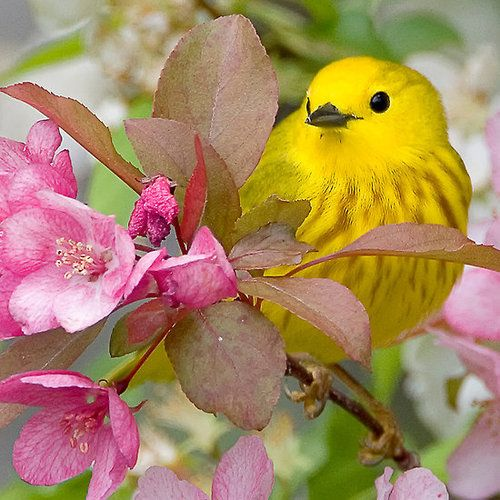 Pretty In Pink / Yellow Warbler by Ted Busby: