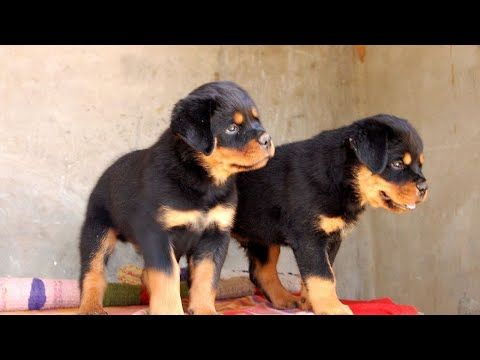 Mar 2019 Rottweiler Puppy Healthy And Heavy Available For Sale From Boskys Kennel India Youtube Rottweiler Puppies Dog Breeds Puppies