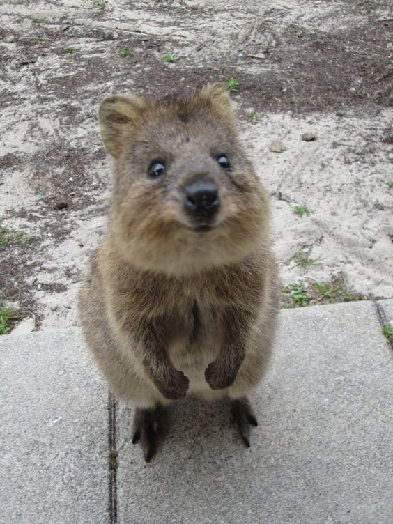 baby quokka - these animals only live on 1 island in the world and nobody inhabits the island. It's called Rottnest Island of the coast of Perth. If you have fresh water, they come sit on you to drink even though they are wild. I loved these creatures!