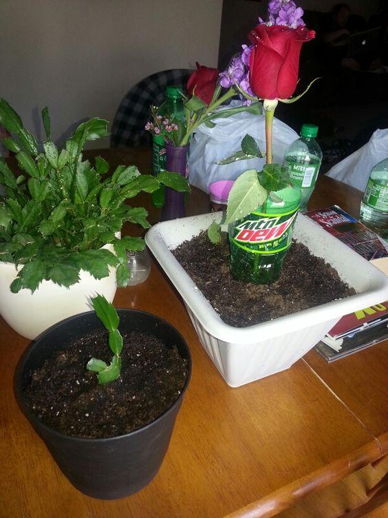 propagating a rose bush and a christmas cactus garden pinterest christmas cactus cactus. Black Bedroom Furniture Sets. Home Design Ideas