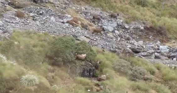 Watch These Sleeping Wild #Goats Stampede