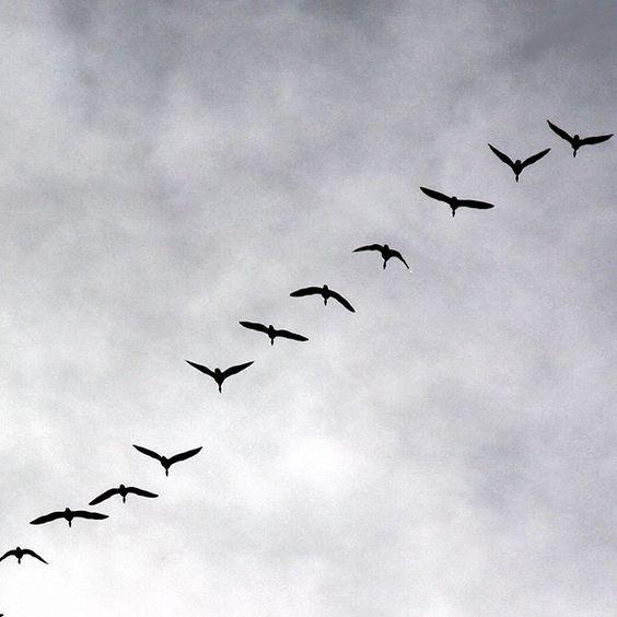 #signsofspring #migratingbirds #migratinggeese #geese #zugvögel #gänse #frühlingsboten #keväänmerkki #muuttolinnut #hanhet #whppatterns: