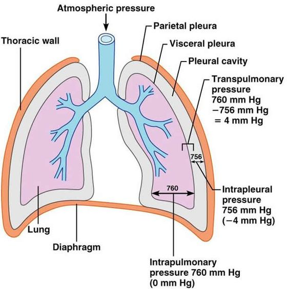 Respiratory System  The O U0026 39 Jays And What Is On Pinterest