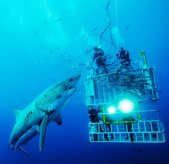 Established as the world's top great white shark cage diving destination, Mexico's Guadalupe Island, a volcanic island off of the Baja Peninsula, draws white shark fans from around the world. Shark-proof diving cages are open to everyone—no scuba certification necessary. All you have to be is brave