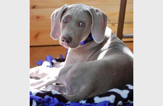 The Daily Puppy | Weimaraner