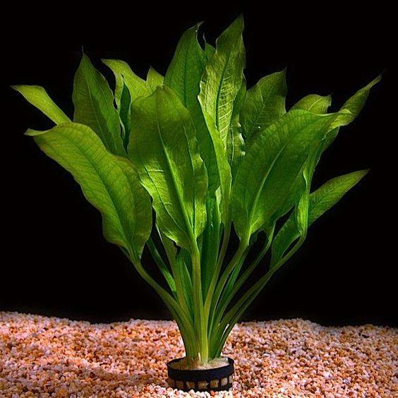 Amazon sword plant nederlands