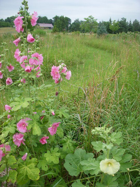 Hollyhocks - love them but just don't  have any luck growing them