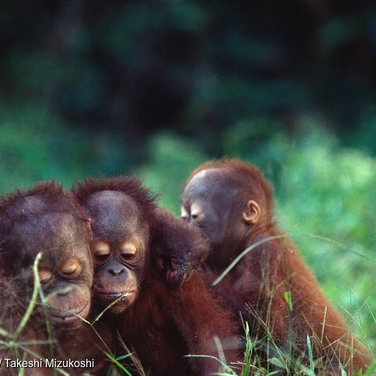 3 baby orangutans in a row.  1/3 of the world's orangutans are threatened by the fires blazing through Indonesia right now. That's a hard hitting statistic, but it's heartbreaking images like the one on the story featured on our Facebook page which really make us all take notice.  #savetheorangutans #indonesia #masihmelawanasap #stopthehaze #jerebu #haze #forestfire #forest #forestconservation #nature #animals