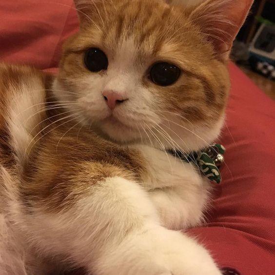 こんばんは 猫catマンチカン manchikan マンチカン部 まんちかん ねこ