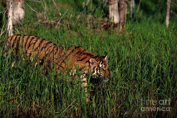 bengal-tiger-tom-brakefield.jpg (900×599)