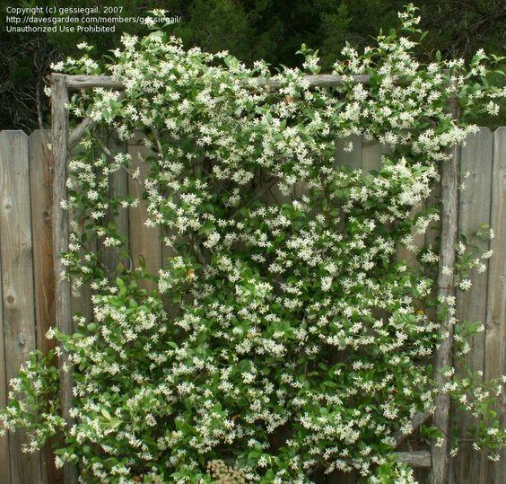Rustic Tree Branch Trellis With Confederate Jasmine Star