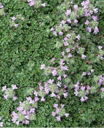 Thymus serpyllum Elfin - Présentation