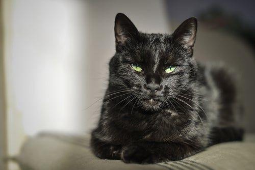 تفسير حلم القطط في المنام للنابلسي Cats Cats And Kittens Black Cat