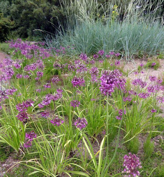 Herrlicher Bestand des Becherlauchs (Allium cyathophorum var. cyathophorum) auf reinem Sandboden