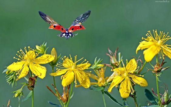 Biedronka W Locie Zolte Kwiaty Dziurawiec Yellow Flower Wallpaper Flower Wallpaper Butterfly Wallpaper