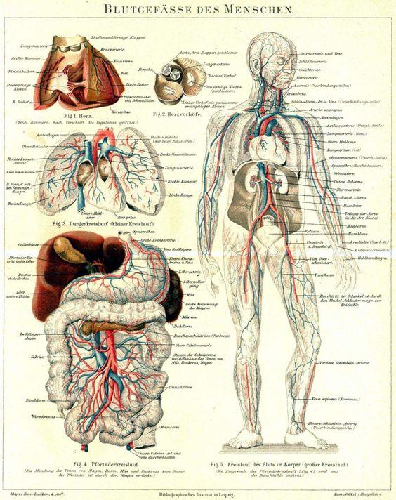 Superior blood vessels | ANATOMY | Pinterest
