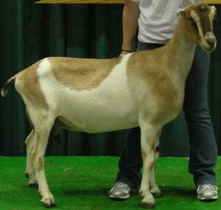 Really High Goat Breeds of Dairy Goats ...