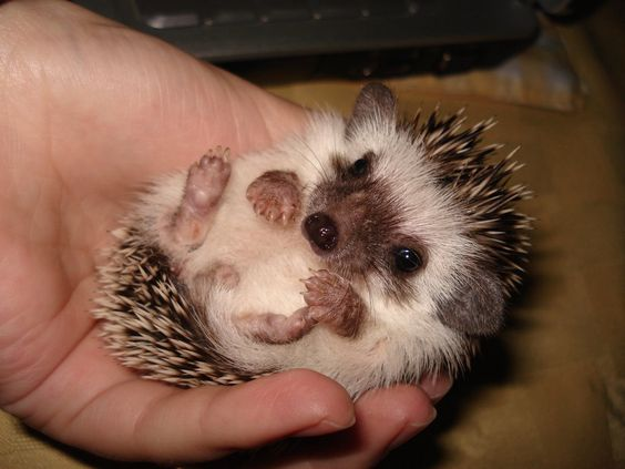 baby hedgehogs are freaking adorable!: