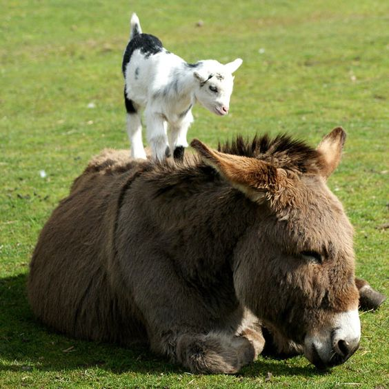 I've always wanted a donkey and a pygmy goat! Maybe when I have my farm they'll do this too!
