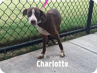 Charlotte - URGENT -  Alvin Animal Adoption Center in Alvin, Texas - ADOPT OR FOSTER - Female PUPPY Basset Hound Mix