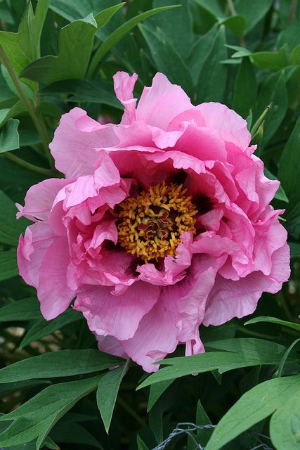 "Pink Tree Peony ""Yin Hong Qiao Dui"" by Pia´s Garden, via Flickr"