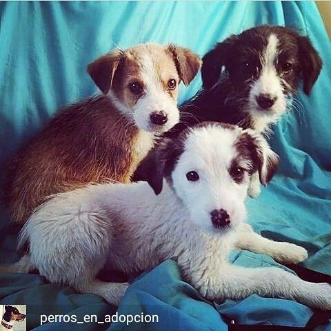 Reposted From Perros En Adopcion Estos Pequenines Tan Rebonitos
