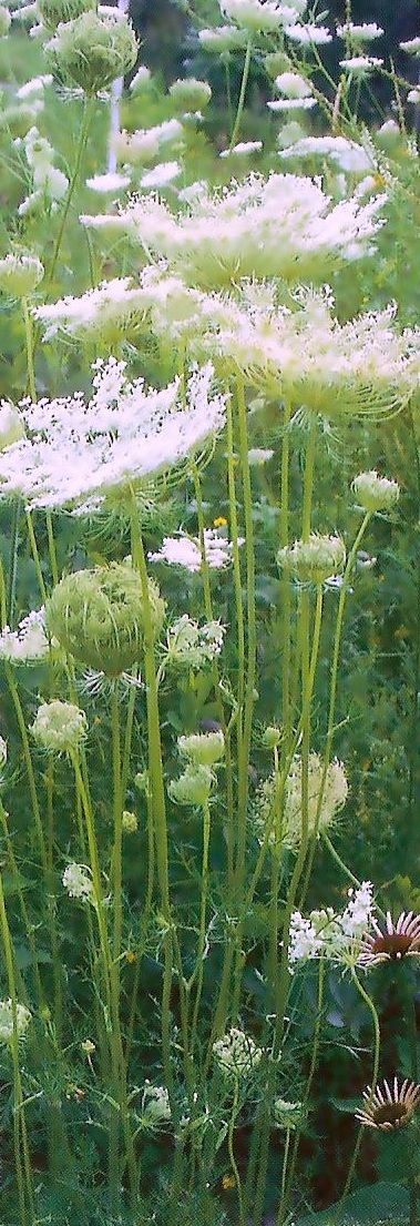 .Queen Anne's Lace.....easy to grow around the yard....invasive I've been told, but oh so pretty. I love the 'birds nests' they make as the seed heads mature....b