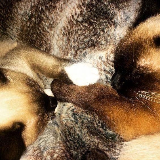 Mayko&Momo  #kittens #siamese #siamesecats #siamesecatsofinstagram #catstagram #catsofinstagram #familycat #love #calm #paws by syl_pa