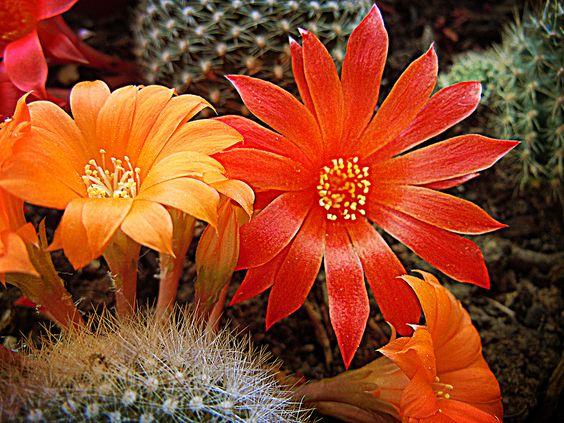 Fiori di cactus - Cactus Flowers