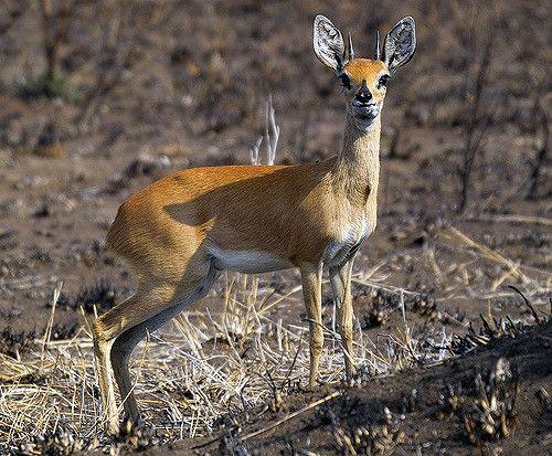 Steenbok   IMG02531