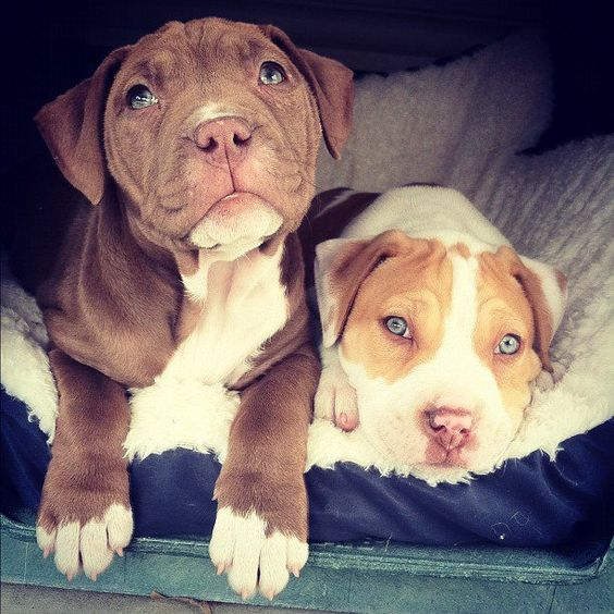 Pitbull puppies! Very pretty.