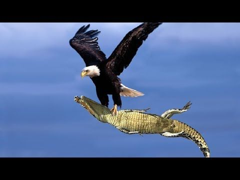 The Best Of Eagle Attacks 2018 Most Amazing Moments Of Wild
