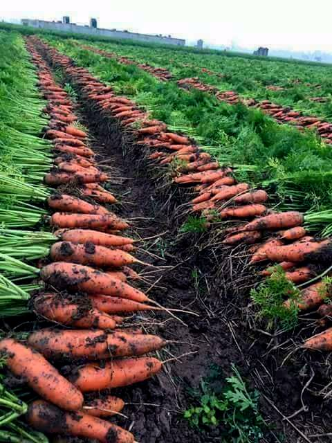 Ever wondered what it takes #farmers to grow #carrots that we cherish in our #salads and #curries? Take time to meet #farmers and understand the nuances of #cultivating #food that nourishes and sustains us.   Be a #FarmDost. Take pride in farming. Join us in Cultivating the World.  Pic: Wonders of Agriculture  | #Efforts #Steps #Cultivation #Conversation #TimeToKnow #KnowFarmersKnowFood #Express #MeetUp