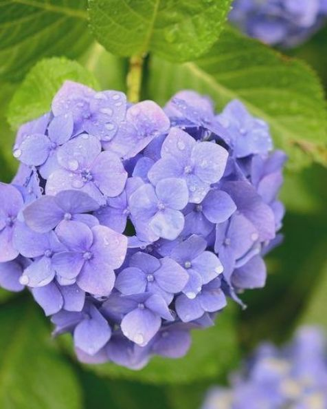 Close Up Of Purple Hydrangea Blooming Outdoors In 2020 Types Of Purple Flowers Hydrangea Purple Hydrangea Bloom