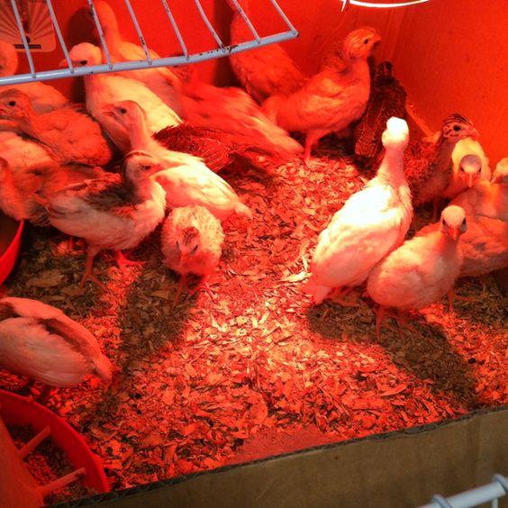 Guinea Hens eat ever tic, chigger? Fleas, etc. ekco friendly'nnmm