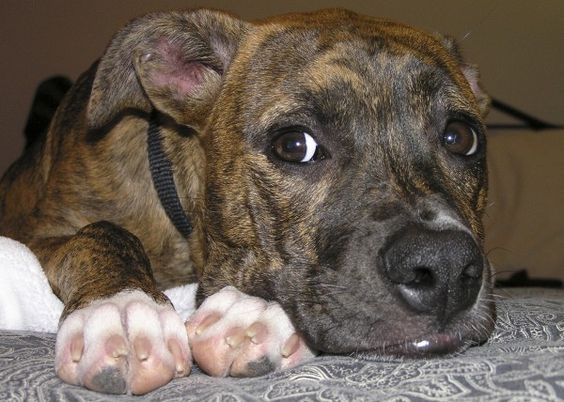 Gallery For > German Shepherd And Bulldog Mix