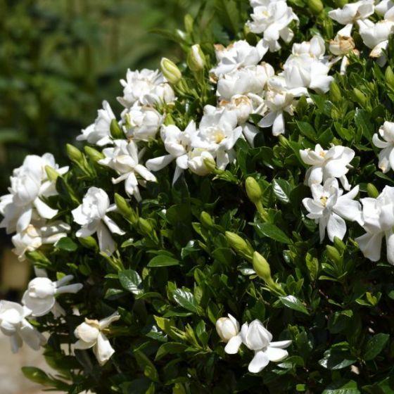 Frost Proof Gardenia Bushes Shrubs Garden Shrubs Plants