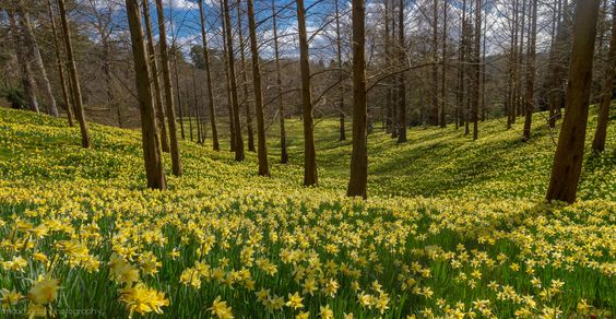Daffodil Valley in the Sun | Flickr - Photo Sharing!