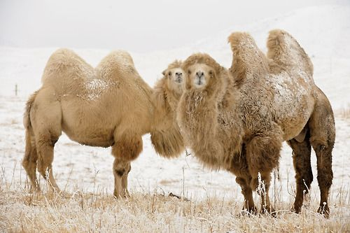 "Bactrian Camels.  Asian, two hump camels domesticated for  pack and transport.  Can be as tall as 7' 5"" and weigh as much as 2200#."