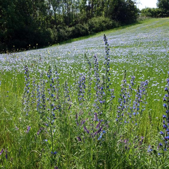 Das blaue Wunder: Gemeine Natternzunge (Echium vulgare) und Saat-Lein (Linum usitatissimum)