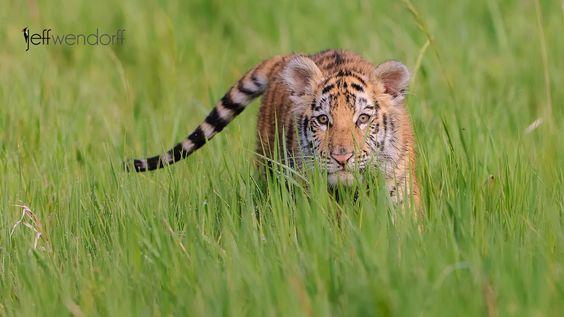 Stalking Tiger Cub by Jeff Wendorff - Photo 29834791 - 500px