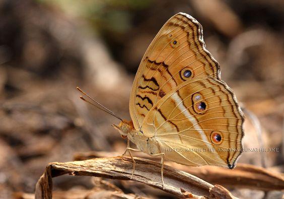 Mariposa Junonia Almana   Sur de Asia
